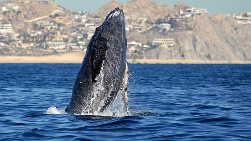 humpback whale breaching from ocean
